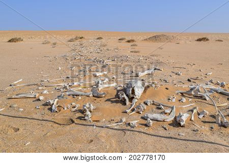 desert scenery including lots of bleached animal bones seen in Namibia Africa