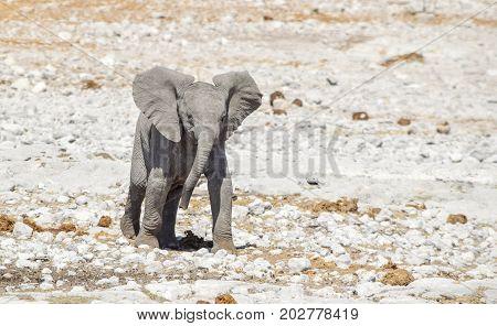 sunny arid savannah scenery including a african bush elephants cub seen in Namibia