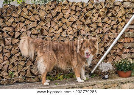 big brown dog standing on a garden wall - australian shepherd