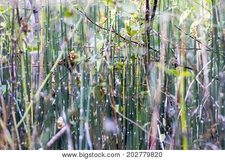 Horsetail thicket in the woods. Selective focus