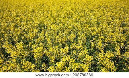 Beautiful Flowering Rapeseed Field On A Clear Spring Day.