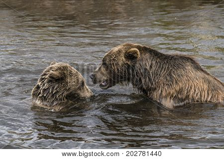 Two Brown Bears Playing In A Lake