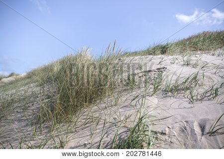 Dune with fresh lyme grass in the sand on a beach by the ocean