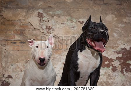 Two thoroughbred dogs: black american pit bull and white bull terier seatting over scraped wall background