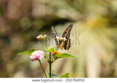 Anise swallowtail butterfly Papilio zelicaon on a flower in summer
