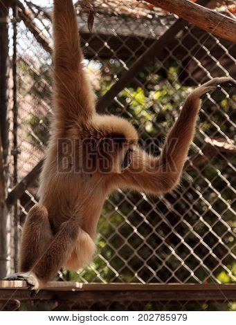 White-handed Gibbon Monkey Called Hylobates Lar