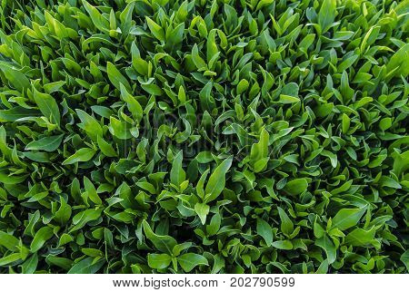 Natural vegetative background from leaves of ficus.