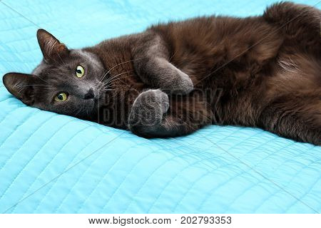 Impudent grey manchkin lying on the master bed and looing at camera