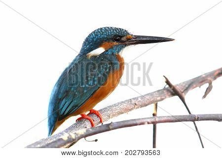 Common Kingfisher Alcedo Atthis Male Cute Birds Isolated