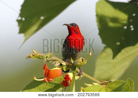 Crimson Sunbird Aethopyga Siparaja Male Beautiful Birds Of Thailand