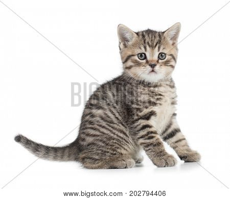 Sitting cat full length looking with great attention isolated on white