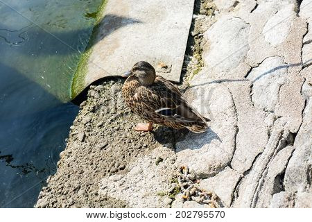 duck on riverside concrete next to water close up brown feather