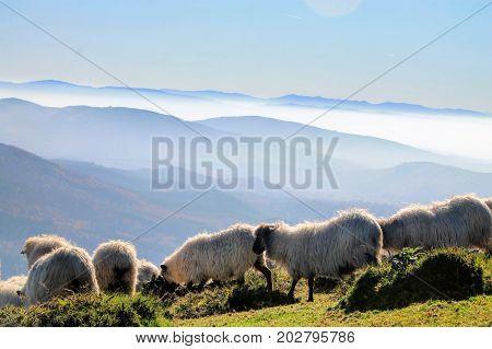 Ovejas pastando en la cima del monte