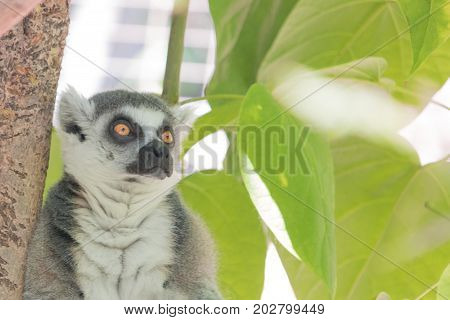 Madagascar ring tailed lemur, bright orange eyes, intense alert stare green foliage jungle behind seated animal, green jungle foliage behind seated gray and white cute animal with black ringed orange brown eyes that look both scared and defiant