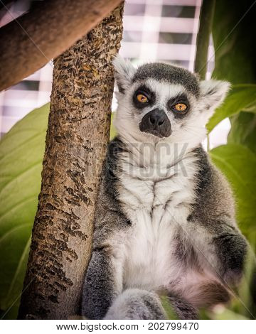 Madagascar ring-tailed lemur with orange sad eyes staring at the camera, green foliage jungle behind seated cute gray, white and black wild animal, endangered species located on small island