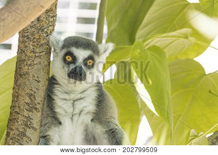 Madagascar ring-tailed lemur with orange sad wide open eyes staring at the camera, green foliage jungle behind seated cute gray, white and black wild animal, endangered species located on small island
