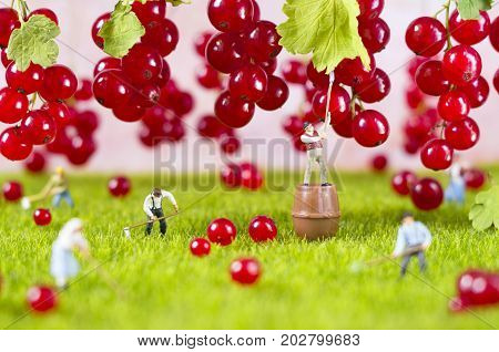 An agricultural photo of working toy farmers, gathering red currant. Focus on a man, who is standing on a barrel.