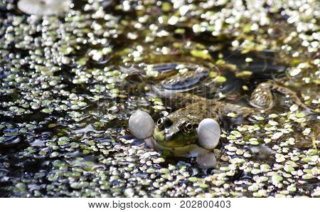 green frog-male with latin name Pelophylax balloons sound resonators to croak, South Ural