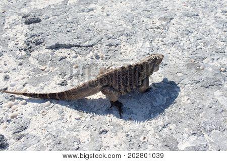 A single iguana is on a stone beach