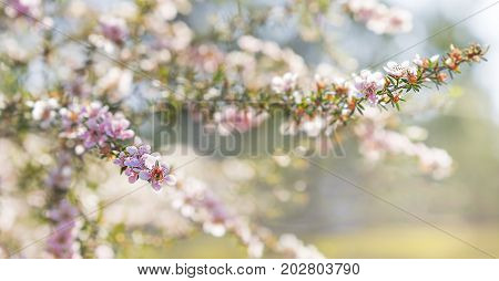 Pink Australian leptospermum flowers on a Spring background for condolences sympathy card backdrop
