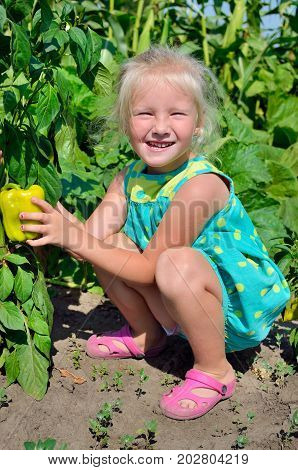 A Little Girl Collects A Crop Of Pepper On The Kitchen-garden.