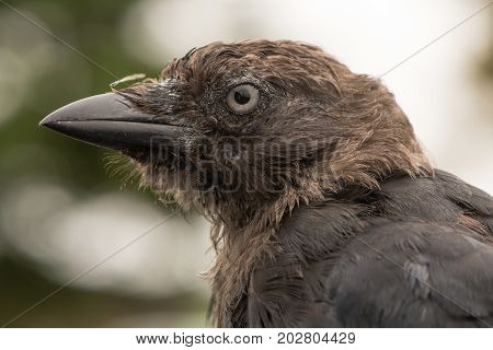 Jackdaw (Corvus monedula) close up of head in profile. Juvenile bird in the crow family (Corvidae) appearing scruffy before plumage fully matures