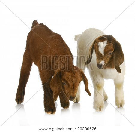 goat twins - two south african boer goat twins on white background poster