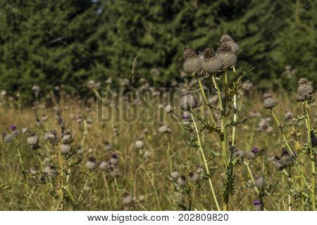 Thistle meadow under Velky Choc hill in north Slovakia