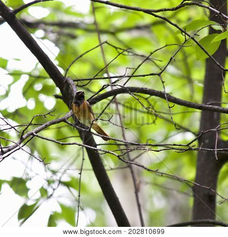 Redstart bird with latin name phoenicurus sitting on a tree branch, South Ural