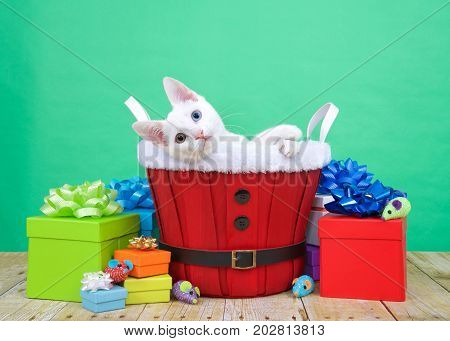 One white kitten with heterochromia or odd-eyes. One blue one yellow green sitting in a red christmas basket surrounded by colorful presents laying sideways playfully looking at viewer.