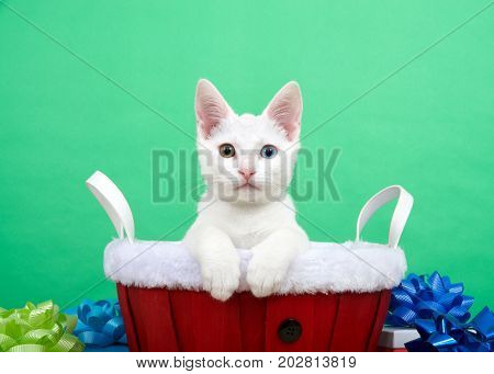 One white kitten with heterochromia or odd-eyes. One blue one yellow green sitting in a red christmas basket surrounded by colorful presents looking at viewer.