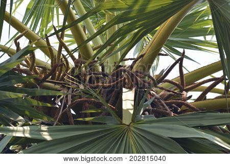 Toddy or sugar palm trees (Borassus flabellifer) sugar palm flower on the top of sugar palm tree