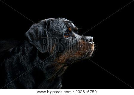Rottweiler Profile Portrait in Studio with Black Background