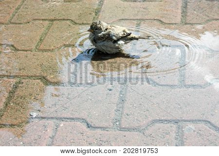 The Sparrow Bathes In A Puddle