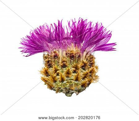 Pressed and dried flower cornflower or cornflower turga isolated on white background. For use in scrapbooking floristry or herbarium.