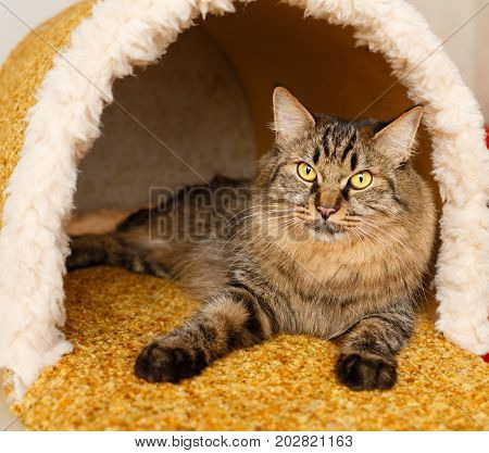 A nice fluffy cat lies in a cat's house. Pets. Hypoallergenic breed of cats