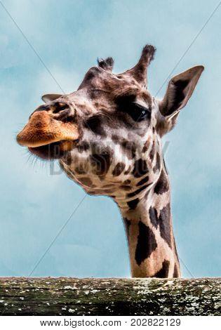 Head of a giraffe - Close view of a curious giraffe (Giraffa camelopardalis)