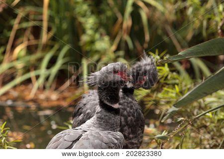 Crested screamer bird Chauna torquata is found in the wetlands in South America