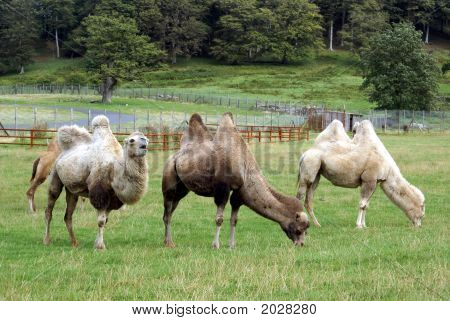 Camels in zoo. ** Note: Slight blurriness, best at smaller sizes poster