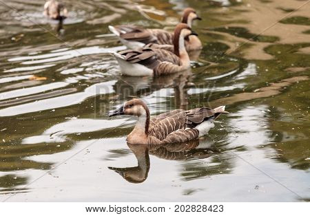 Hawaiian Goose Called Branta Sandvicensis