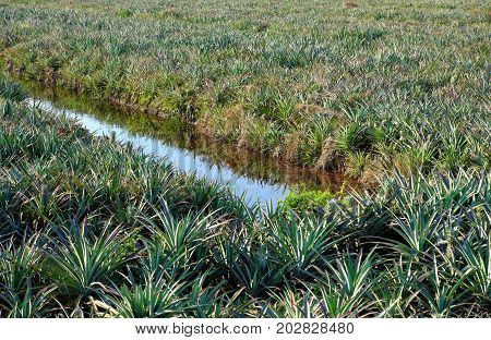 Pineapple Field At Mekong Delta