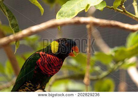 Rainbow Lorikeet Called Trichoglossus Moluccanus