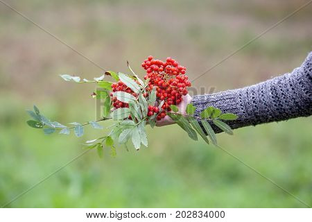 Orange Sorbus berries in a woman's hand. Abstract autumn background.