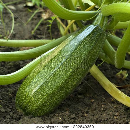 A ripe courgette lying on the ground in the garden close up