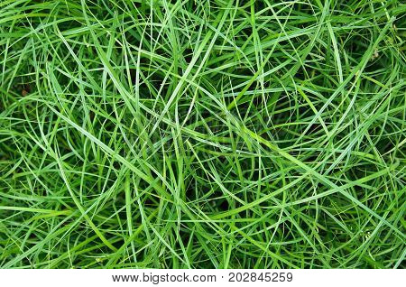 Crazy long green matted grass abstract background