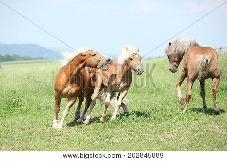 Three Haflingers Fighting