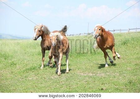 Three Haflingers Moving