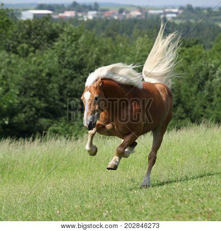 Amazing Haflinger Jumping On Pasturage