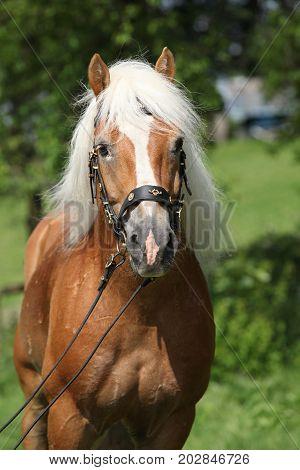 Potrait Of Beautiful Haflinger Stallion