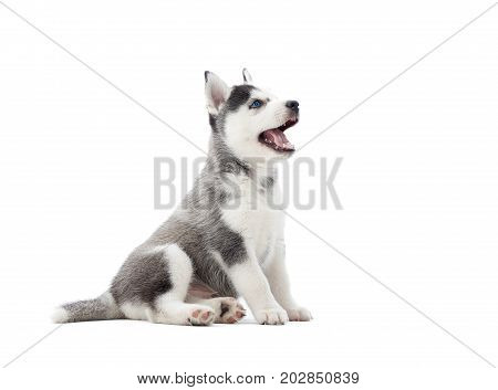 Interesting playful little puppy of serbian husky with blue eyes, looking up, and waiting for food. Cute small dog with fur like woolf, posing in studio, at white background. Isolate.
